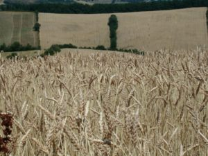 Ferme de Primoulas, champs de blé